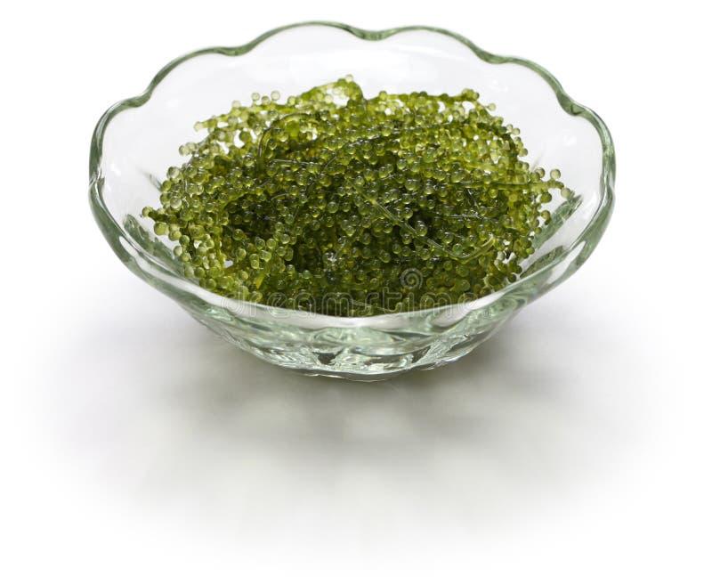 Umi budo, green caviar, sea grapes, seaweed. Edible algae stock photography