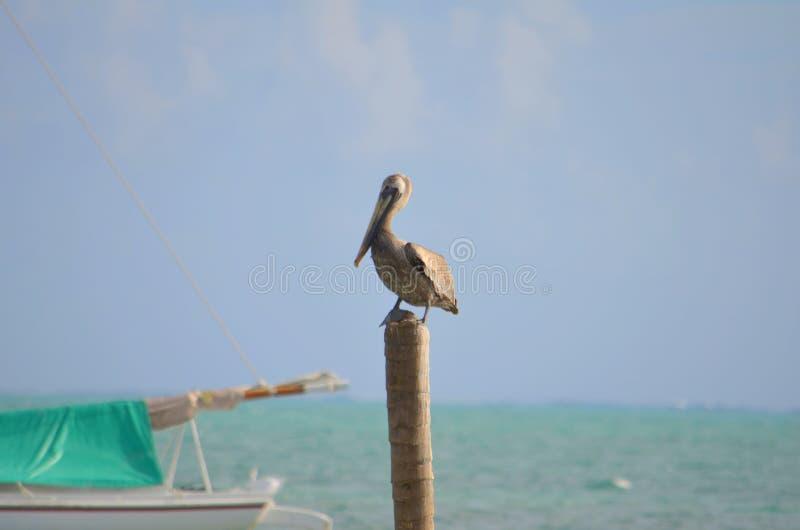umieścić pelikana zdjęcie stock