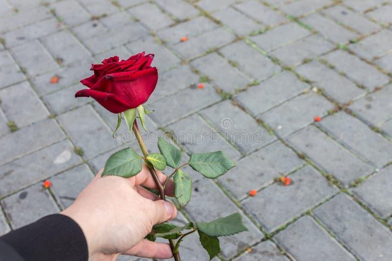 Umierający czerwony kwiat róży w rękach ogrodnika obraz royalty free