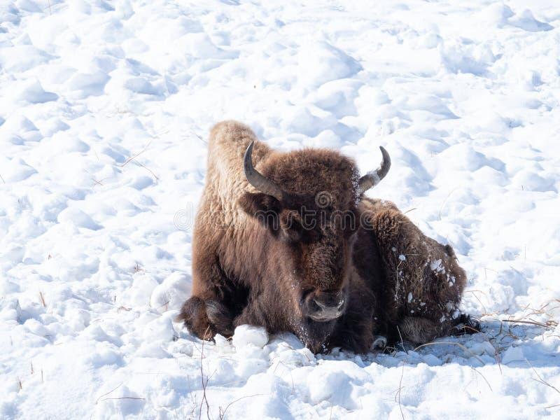 Umieraj?cy, G?oduj?cy Ameryka?ski ?ubr w Yellowstone parku narodowym obrazy royalty free