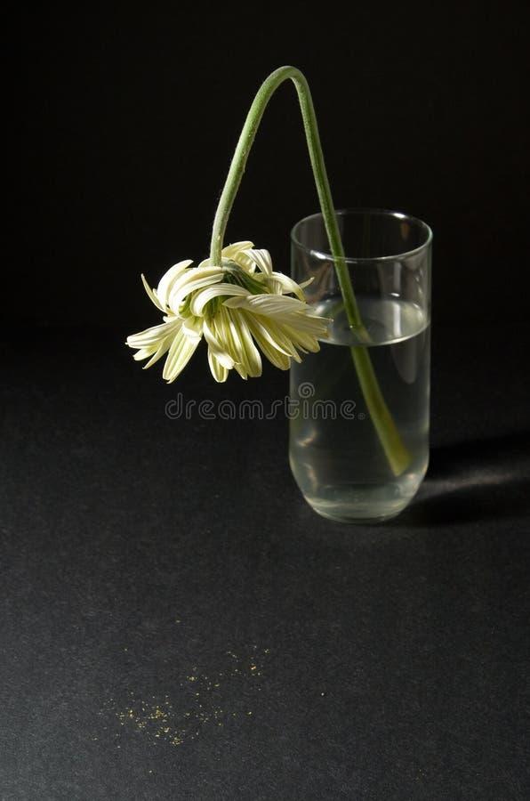 umierający gerbera white zdjęcie stock