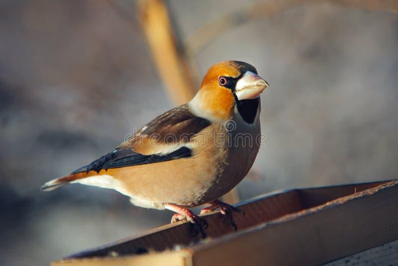 umieszczający birdfeeder grosbeak fotografia stock