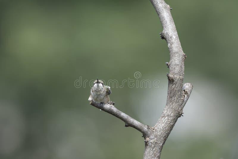 Umieszczający Hummingbird Gapi się puszka konkurs obraz stock