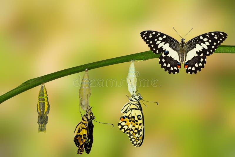 Umwandlung des Kalk-Schmetterlinges lizenzfreies stockfoto