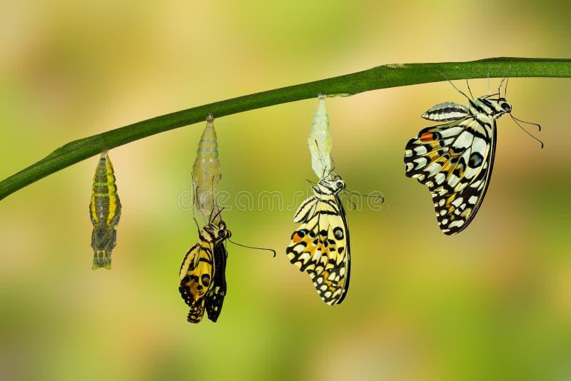 Umwandlung des Kalk-Schmetterlinges stockfotografie