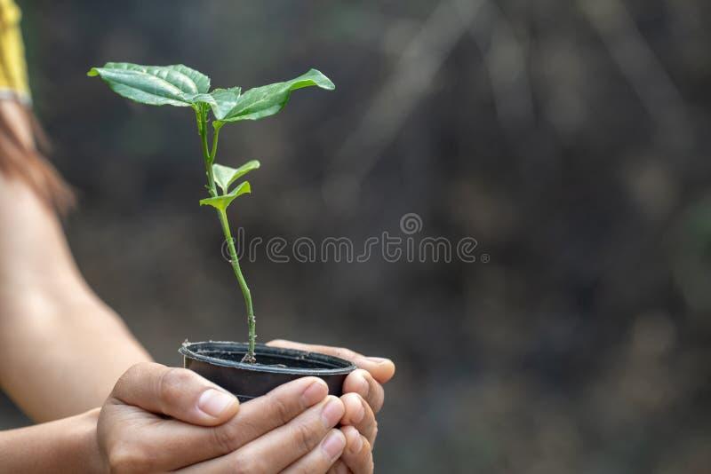 Umwelt-Tag der Erde in den H?nden von den B?umen, die S?mlinge wachsen Weibliche Hand, die Baum h?lt lizenzfreie stockfotografie