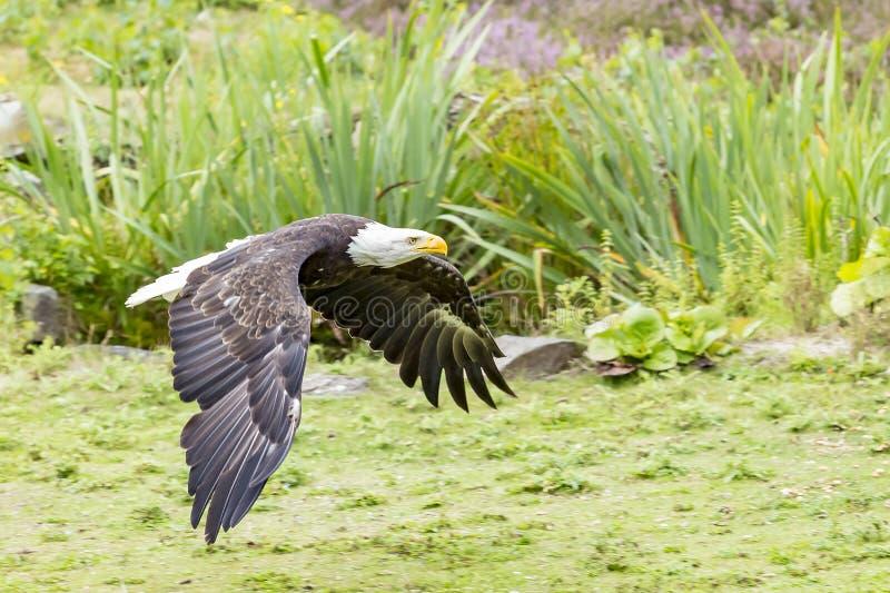 Un águila calva americana en vuelo completo apenas sobre la tierra foto de archivo