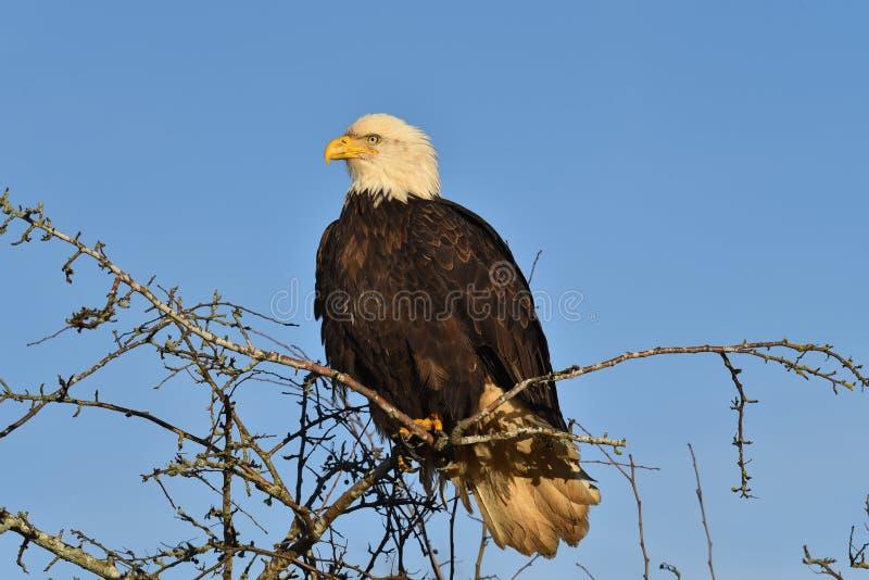 Un águila calva que se sienta en la rama foto de archivo
