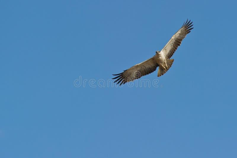 Un águila marcial juvenil en vuelo imagenes de archivo