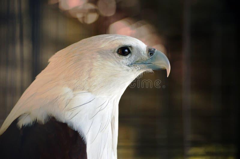 Un águila principal blanca Haliastur indus foto de archivo