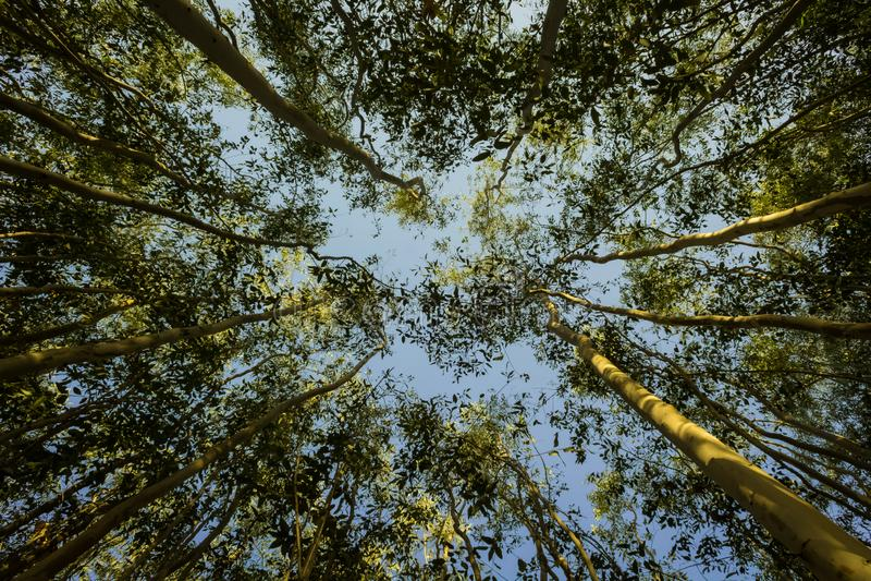 Un ángel amplio de los árboles de eucalipto con perspectiva imágenes de archivo libres de regalías