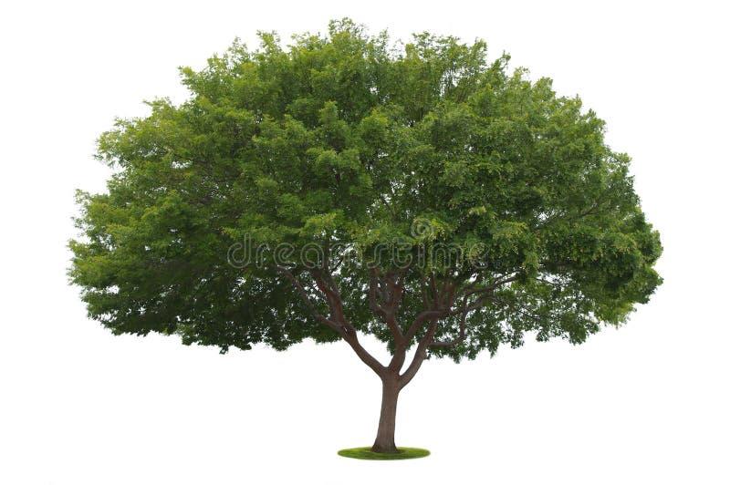 Un árbol aislado foto de archivo