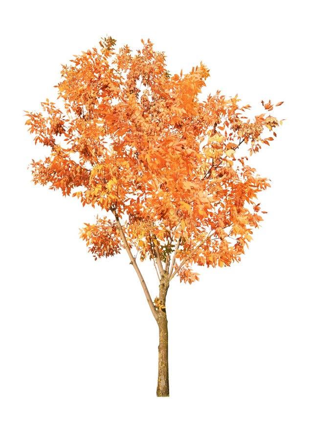 Un árbol anaranjado del otoño aislado en blanco foto de archivo