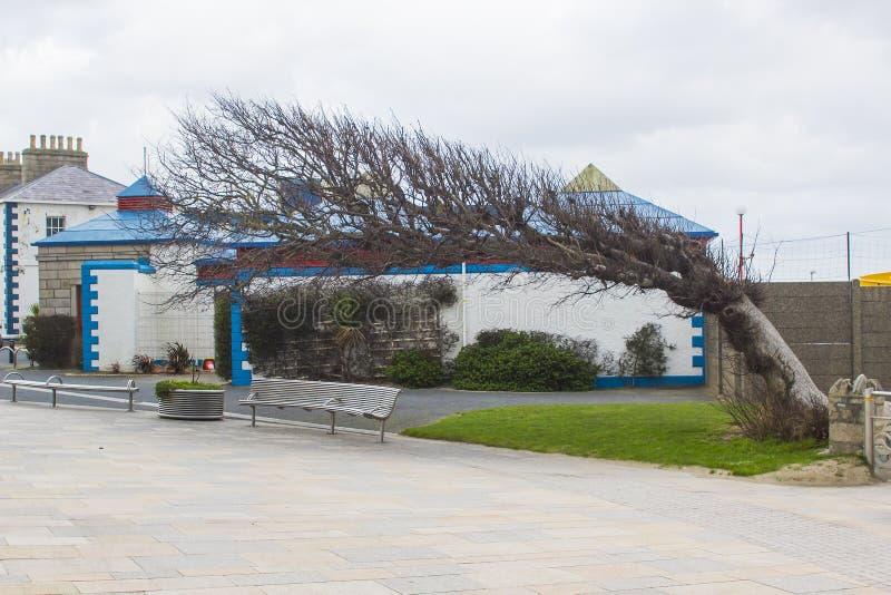 Un árbol azotado por el viento maravilloso en el centro del condado de Newcastle abajo fotos de archivo libres de regalías