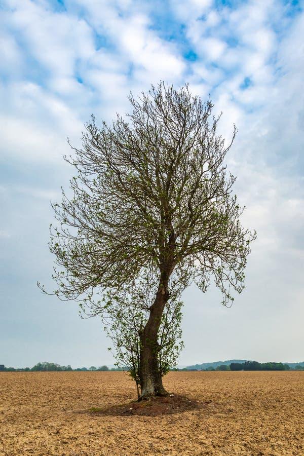 Un árbol bien proporcionado fotos de archivo libres de regalías
