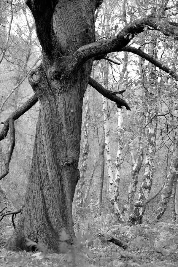 Un árbol blanco y negro imágenes de archivo libres de regalías
