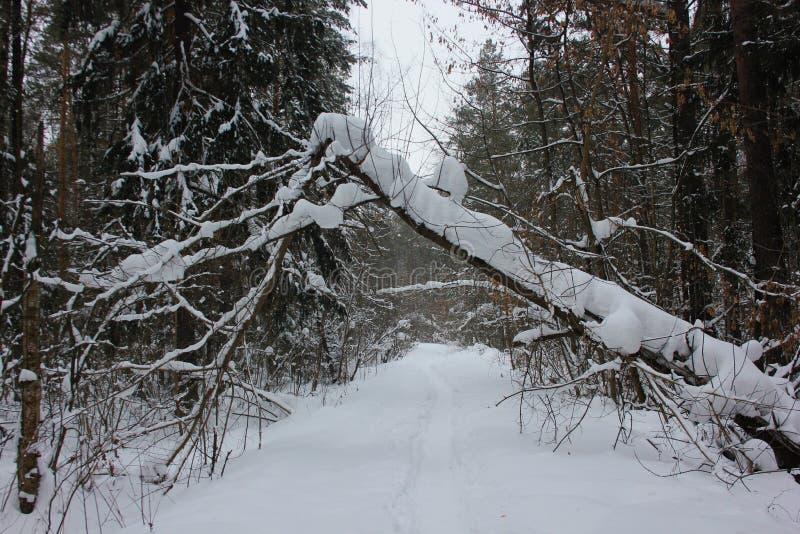 Un árbol caido colgado sobre una trayectoria en un día frío nublado del bosque del pino imagenes de archivo