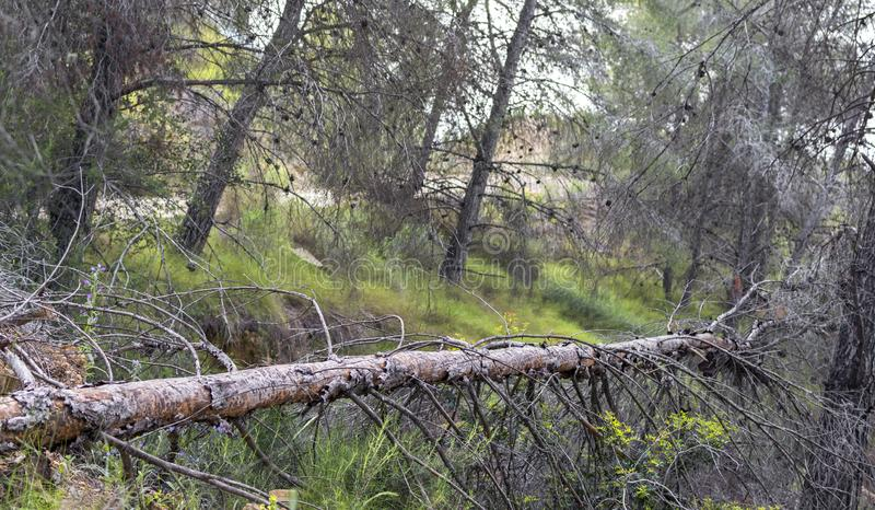 Un árbol caido en un bosque español en un parque natural en Murcia foto de archivo libre de regalías