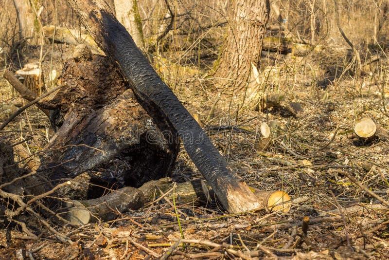 Un árbol chamuscado en el bosque foto de archivo
