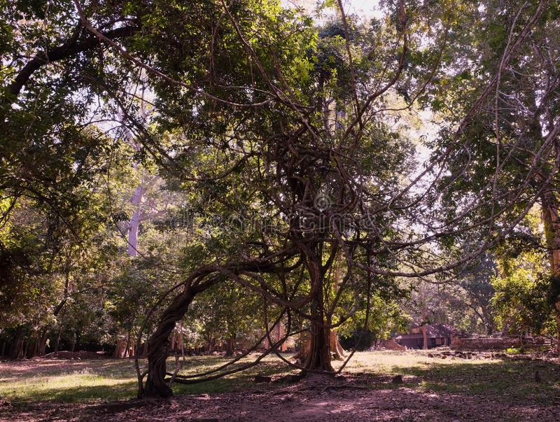 Un árbol con las ramas feas, torcidas Planta tropical espeluznante con las ramas torcidas liana fotos de archivo libres de regalías