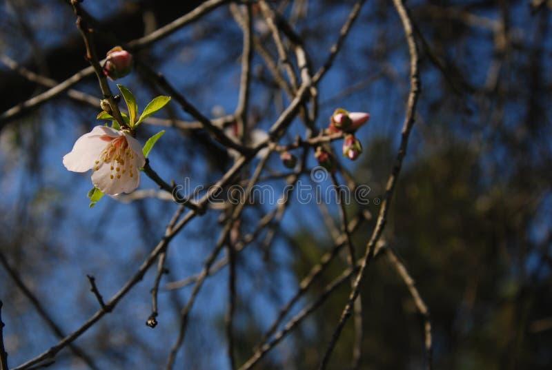 Un árbol de almendra en flor en el valle verde fotografía de archivo