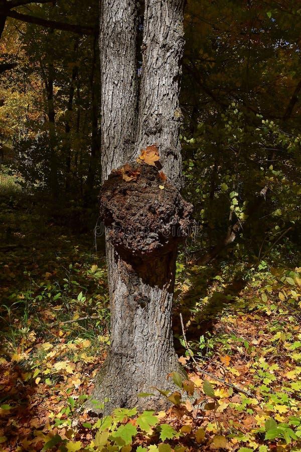Un árbol de arce con un tronco afectado por un hongo fotografía de archivo