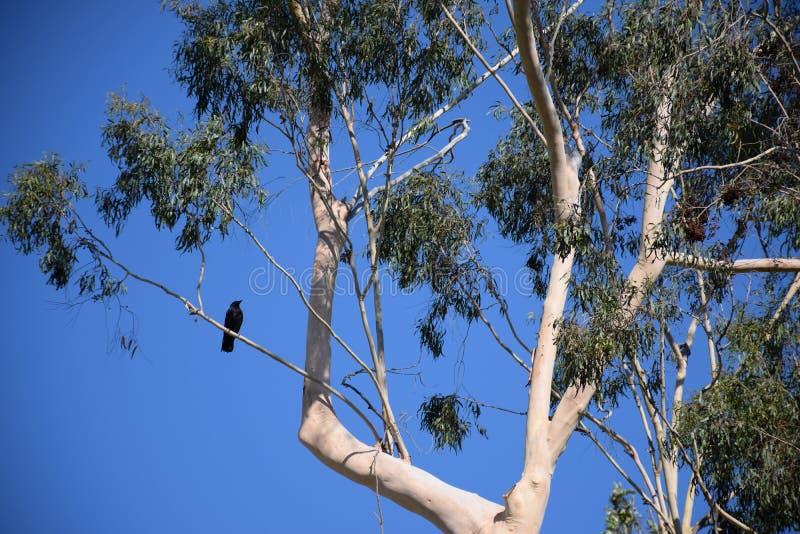 Un árbol de eucalipto alto con un cuervo se encaramó en un miembro imagen de archivo