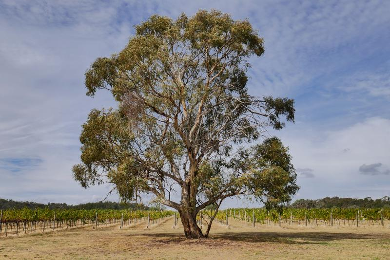 Un árbol de eucalipto en un viñedo foto de archivo