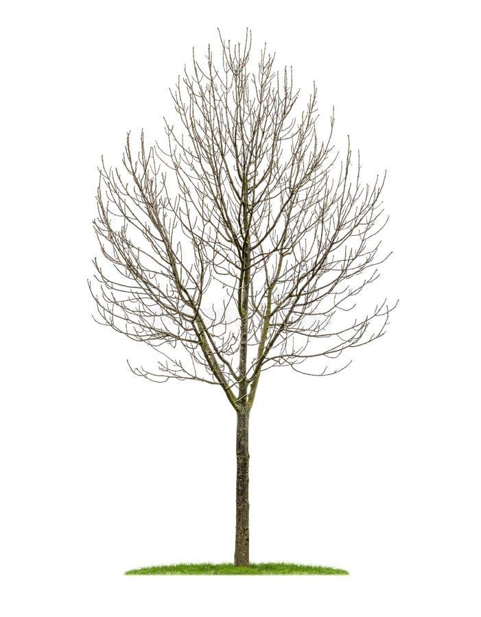 Un rbol de hoja caduca aislado en el invierno im genes de for Arboles de hoja caduca