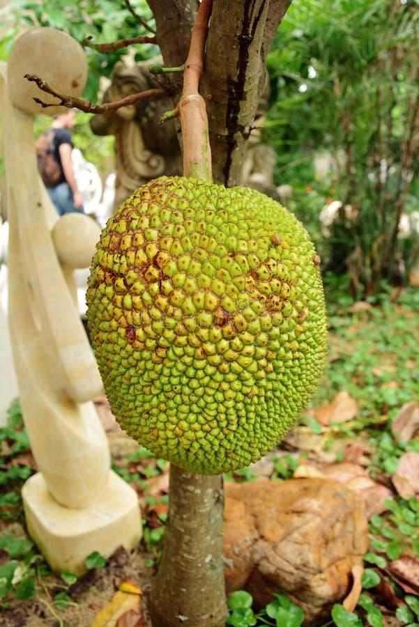 Un árbol de jackfruit joven imagenes de archivo