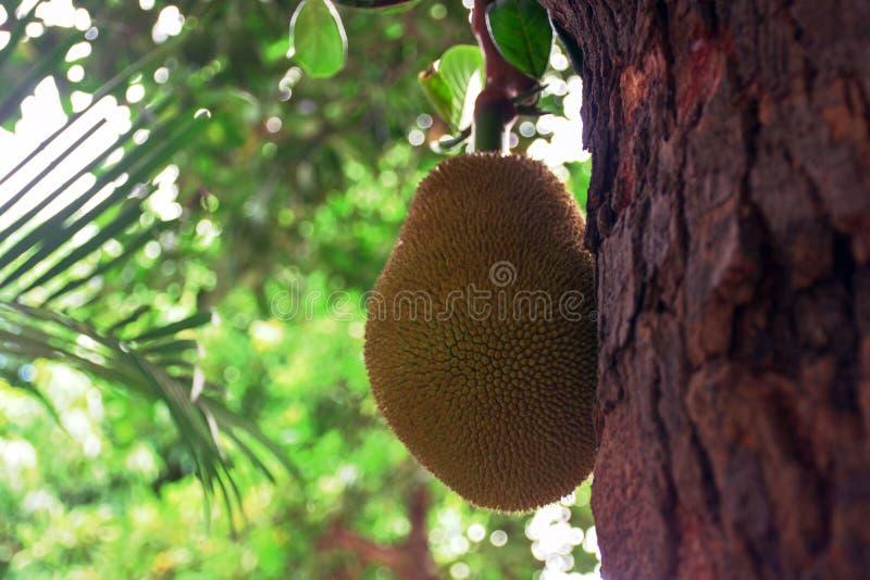 Un árbol de jackfruit que está llevando la fruta delante de mi oficina imagen de archivo