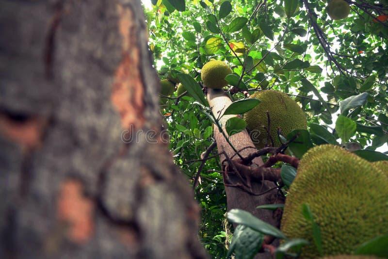 Un árbol de jackfruit que está llevando la fruta delante de mi oficina fotos de archivo