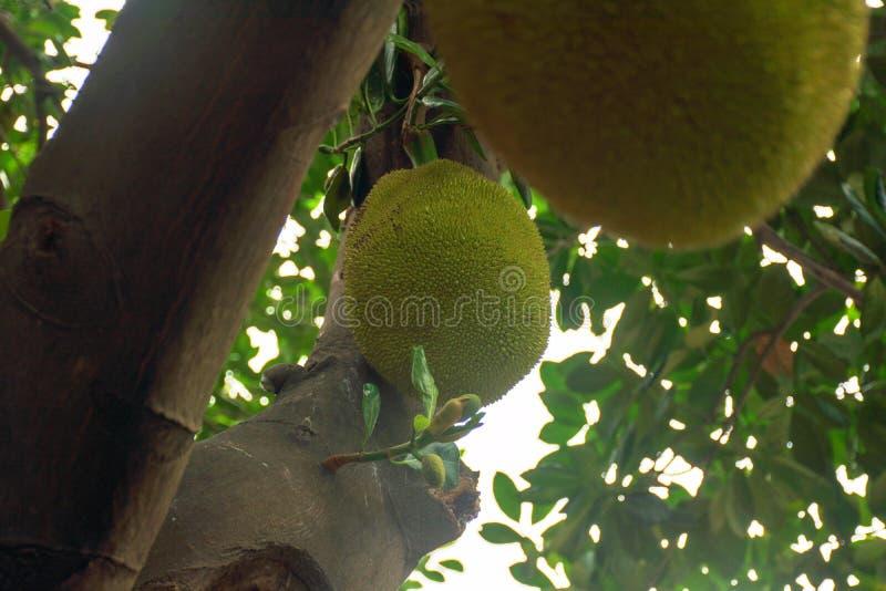 Un árbol de jackfruit que está llevando la fruta delante de mi oficina imagenes de archivo
