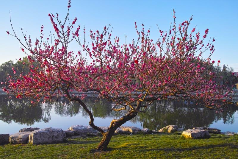 Un árbol de melocotón en primavera fotos de archivo