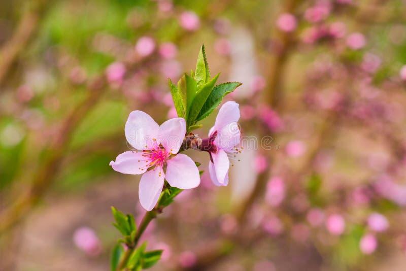 Un árbol de melocotón floreciente en un día soleado Foco selectivo fotos de archivo