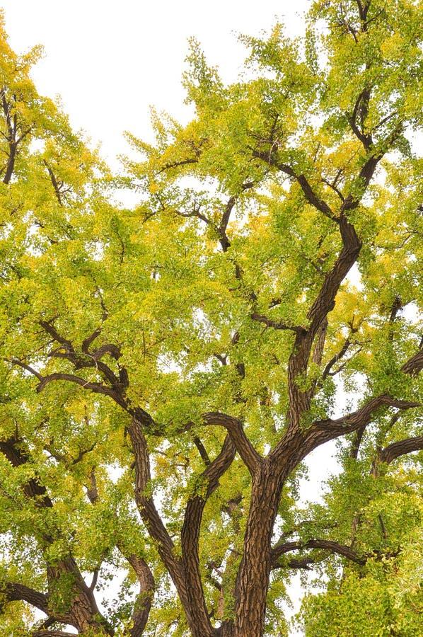 Un árbol de mil años del ginkgo imagen de archivo libre de regalías