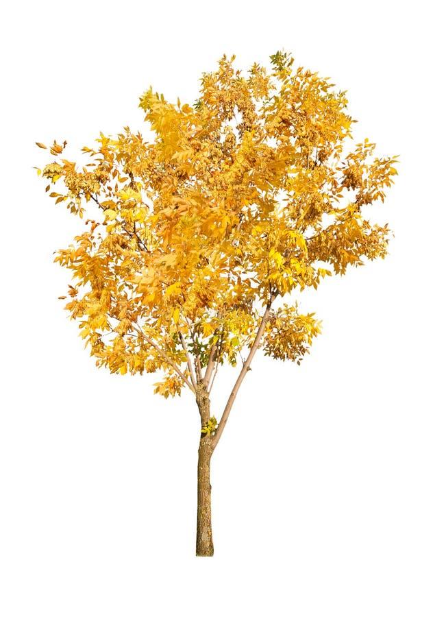 Un árbol de oro del otoño aislado en blanco foto de archivo libre de regalías