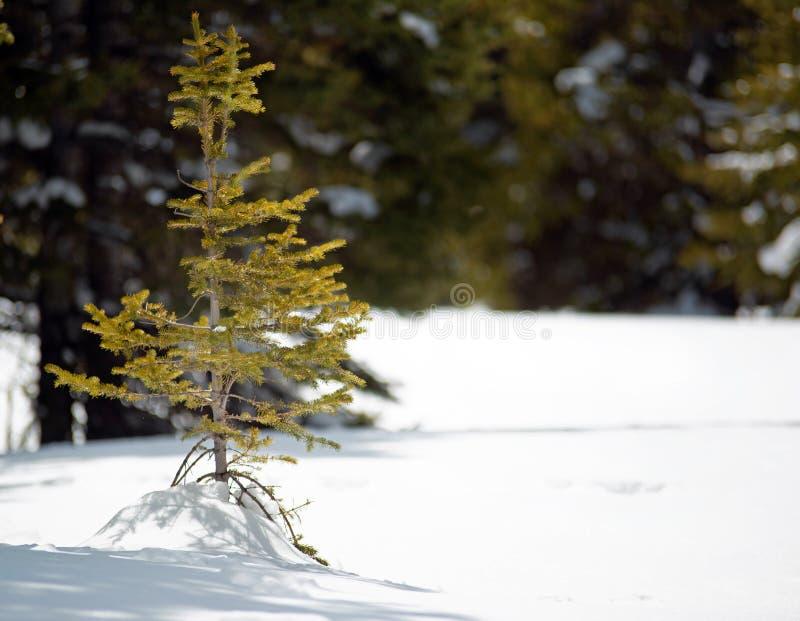 Un árbol de pino a solas minúsculo del bebé imagen de archivo libre de regalías