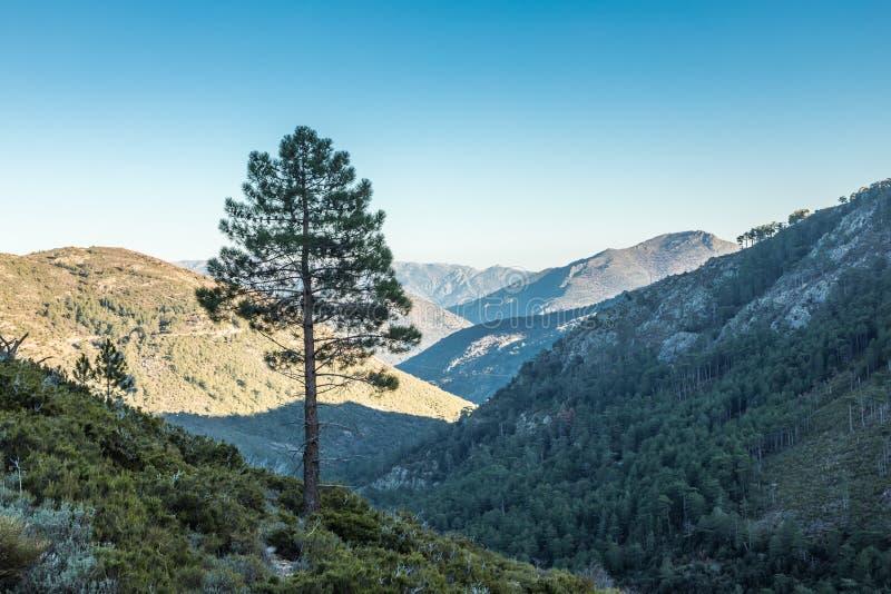 Un árbol de pino solitario en las montañas en Córcega foto de archivo