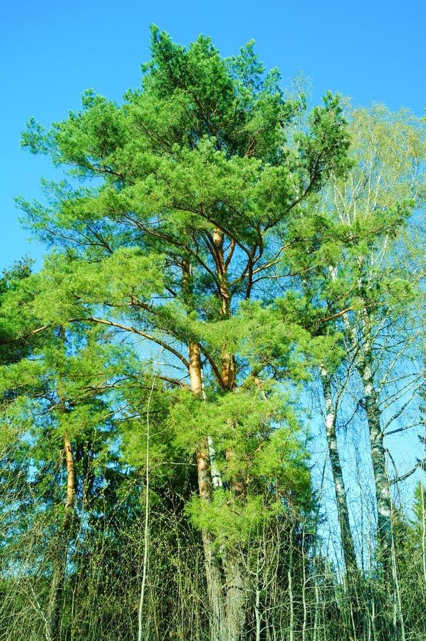 Un árbol de pino y cielo azul despejado fotografía de archivo libre de regalías