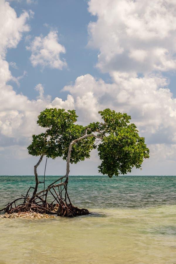 Un árbol del mangle que crece en el mar del Caribe imagen de archivo