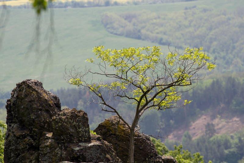 Un árbol en la roca fotos de archivo