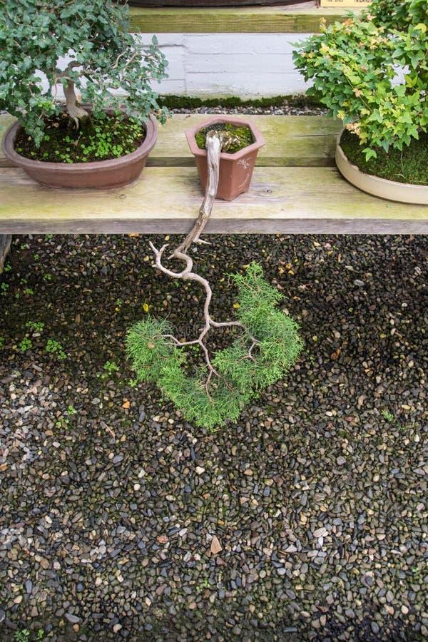 Un árbol enrrollado de los bonsais de la ejecución fotografía de archivo libre de regalías