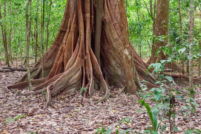 Un árbol gigante con el contrafuerte arraiga en el bosque, Costa Rica fotos de archivo