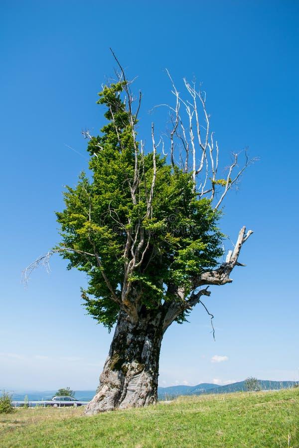 Un árbol grande y viejo con una mirada extraña imagen de archivo