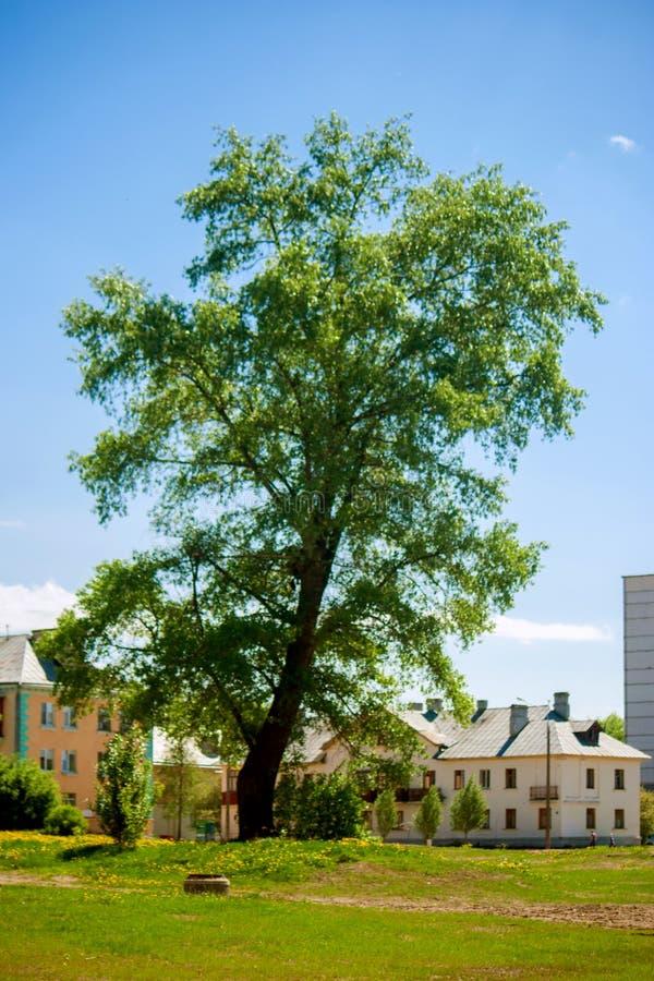 Un árbol grueso alto enorme crece en una tierra imagen de archivo libre de regalías