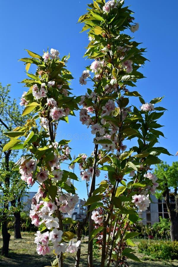 Un árbol hermoso floreció en el jardín, primavera fotos de archivo