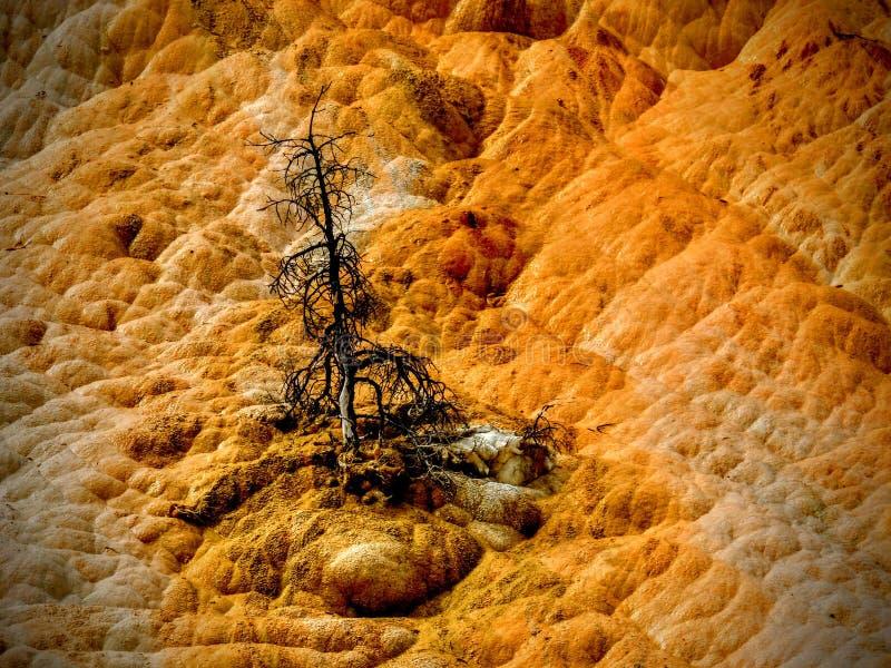 Un árbol muerto en Yellowstone& x27; s Mammoth Hot Springs fotografía de archivo libre de regalías