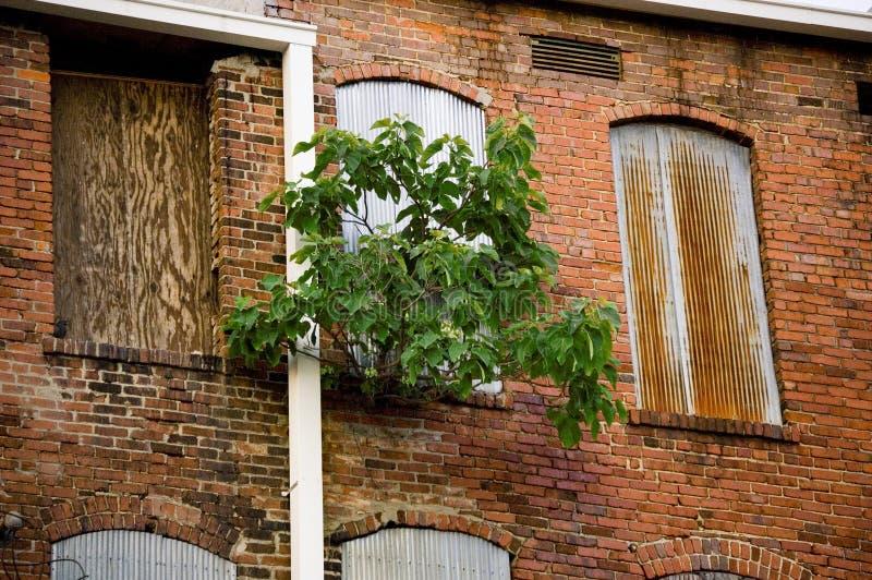 Un árbol que crece a través de una ventana vieja en un edificio abandonado imagen de archivo