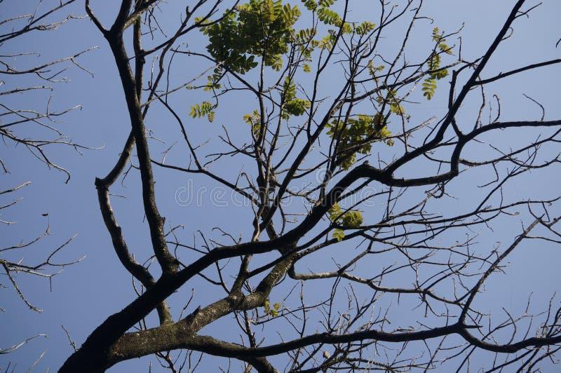 Un árbol seco debido a la estación seca fotografía de archivo